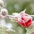 Роза през зимата